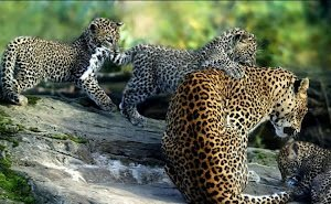 Для леопардов в Сочи построят экспериментальный вольер
