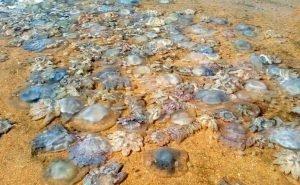 К берегам Анапы прибило сотни мёртвых медуз