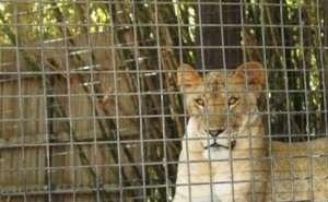 Хозяин зоопарка, в котором львица напала на ребёнка, идёт под суд