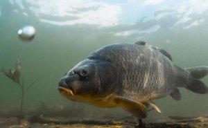 Наращивать производство рыбы на Кубани будут за счёт расчистки рек